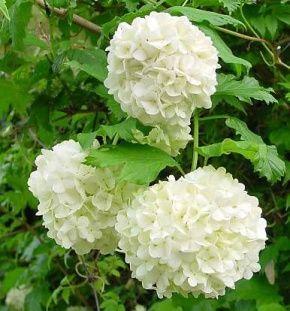 Калина обыкновенная Roseum (Бульдонеж)