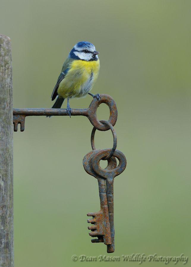 Blue Tit on Gate Keys