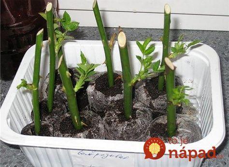 Ak dostanete ružu, nečakajte, kým zvädne: Takto jednoducho ju premeníte na ozdobu vašej záhrady!