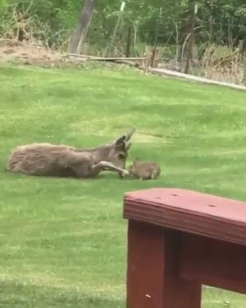 Cutest video of deer and rabbit