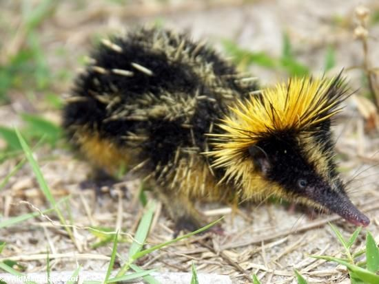 Lowland Streaked Tenrec found in Madagascar. Looks like a cross between a hedgehog and a bee!