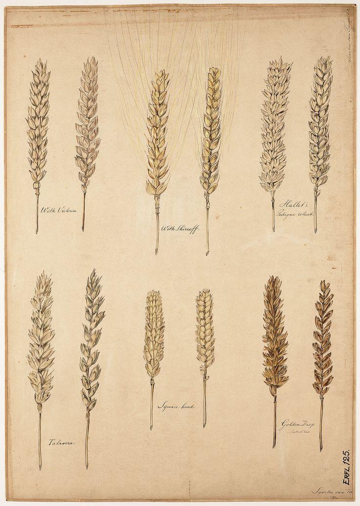 The art of knowledge: educational botanical wall charts 1870 - 1960 of the Stichting Academisch Erfgoed Soorten van tarwe