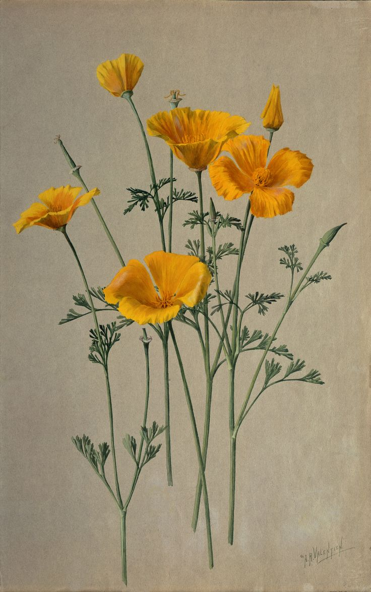 how to draw a golden poppy flower