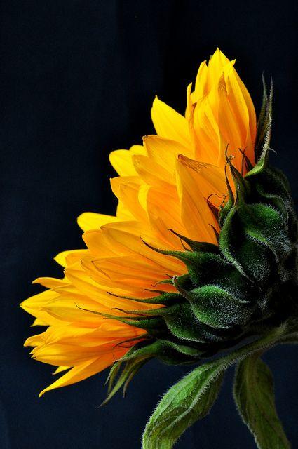 girasole - false ricchezze (linguaggio segreto dei fiori vanessa diffenbaugh)