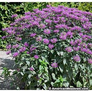 monarda blue stocking - Google Search