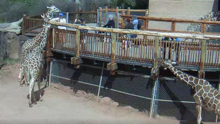 Cheyenne Mountain Zoo Has Live Giraffe Cam « CBS Denver