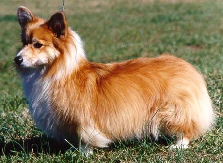 want a long haired corgi and a short haired one... gah!! XD