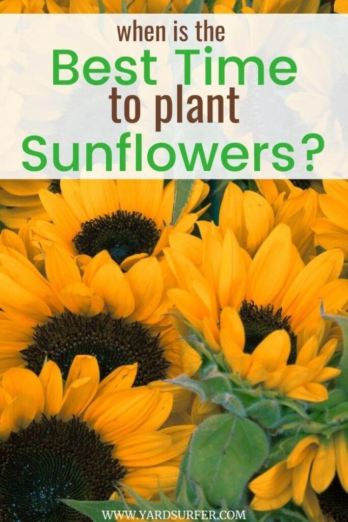 41++ When is the best time to plant sunflowers information