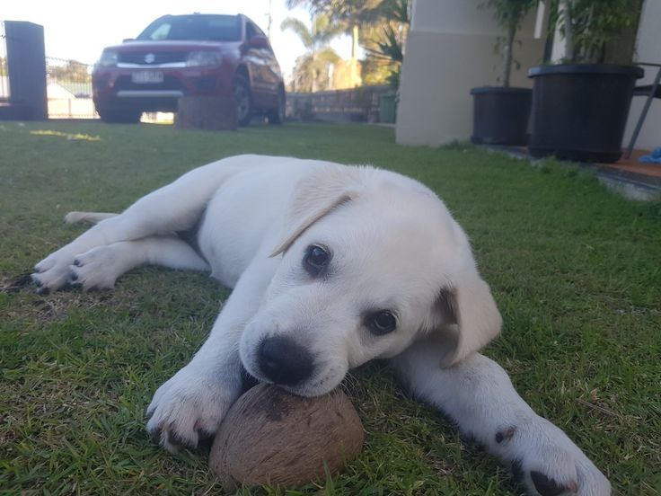 Coconut shells are number 1 choice for this pup! Willow @ 10 weeks #willowthewhite #labrador #labradorpuppies #goldenretriever #goldenpuppies #puppies #cute #ilovemydog #sofreakingcute #puppyeyes #waterpuppy #goldenretriever #goldenpuppies #puppies #cute #ilovemydog #sofreakingcute #puppyeyes #fruitbat #livestochew