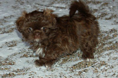 Liver Shih Tzu Puppy at 7 weeks of age, her coat is a deep chocolate color.