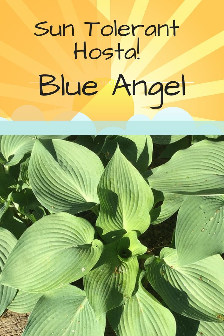 Blue Angel Hosta Is Sun Tolerant And One Of The Best Hostas To Plant