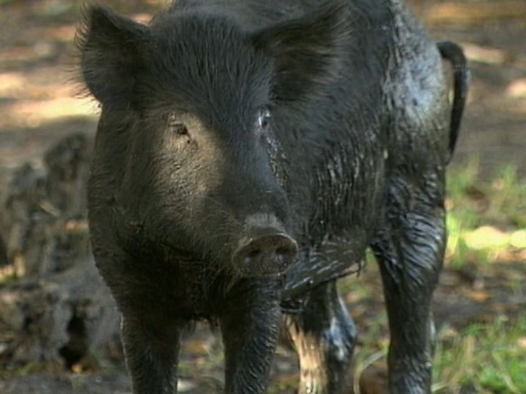 Feral pigs going hog wild across growing area of US