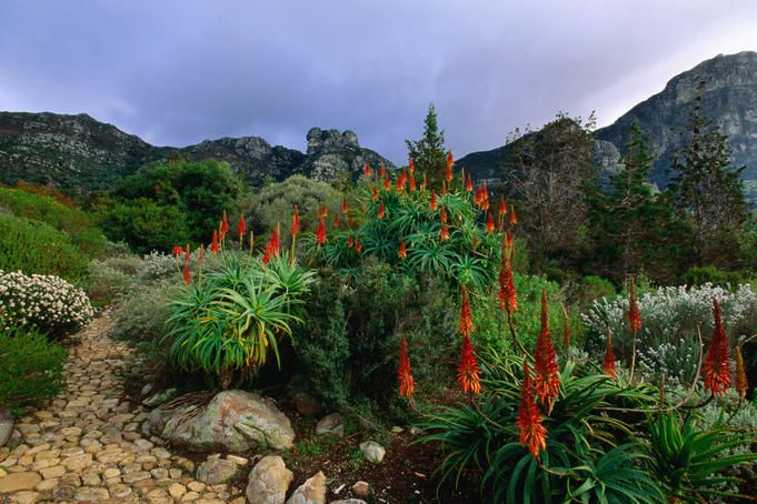 Aloes in Kirstenbosch National Botanical Garden. South Africa