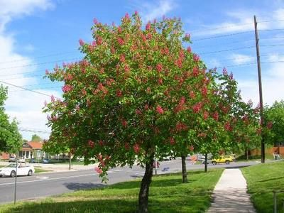 Forestry - Suggested Trees - Medium | Salt Lake City - The Official City Government Website