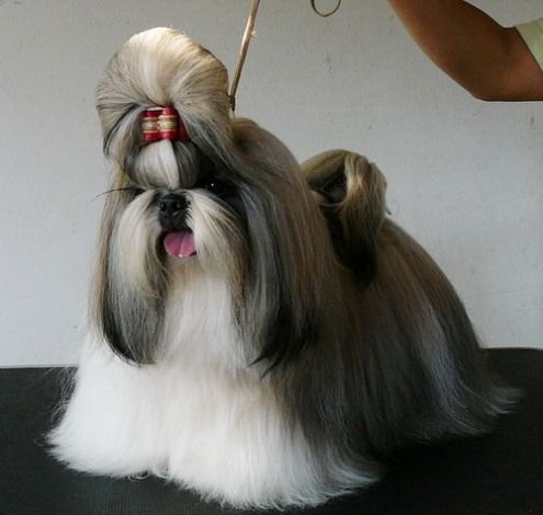 shih tzu hair care 75 best images about shih tzu on pinterest big thing 6794