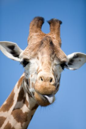 Spending most of the day eating, a full-grown giraffe consumes over 45 kg (100 lb) of leaves and twigs a day. Learn more giraffe facts at Animal Fact Guide!