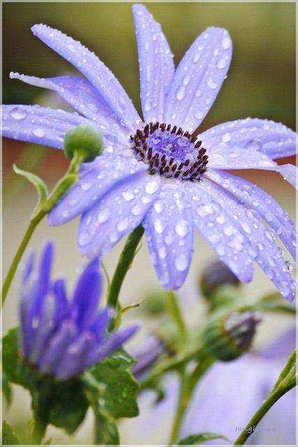 Lavender ~Senetti Daisy.  Must have this!