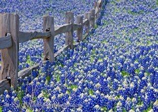 Love those beautiful Texas bluebonnets!: Fence, Blue Flowers, Blue Bonnets, Beautiful, Bluebonnets Texas, Places, Texas Bluebonnets, Photo, Fields