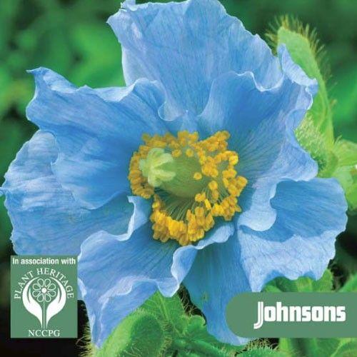 Mycket eftertraktade, med stora, uppseendeväckande blå blommor  Välkänd för sina genomträngande blå blommor men förvånansvärt sällan sett. Den har ett rykte om att vara svårt att växa men när etablerade det kräver liten eller ingen uppmärksamhet. Price 44,00kr