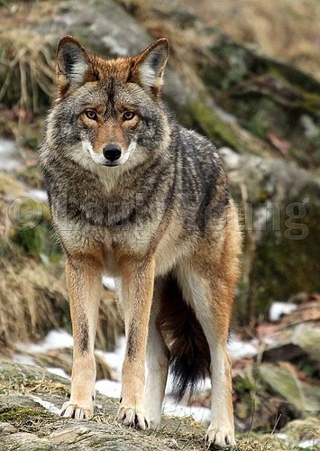 Coyote. | North American Wild Animals We've Seen | Pinterest