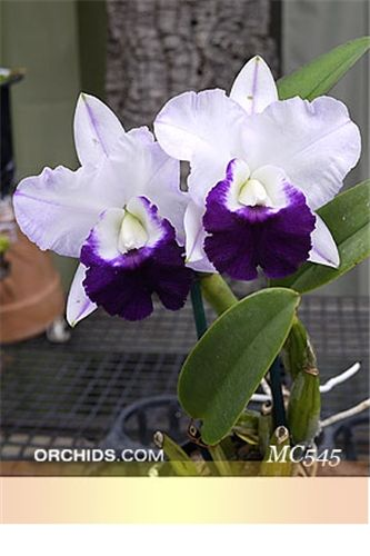 Inter-generic Orchid-hybrid Lc: LaelioCattleya Mem. Robert Strait 'Blue Hawaii' (Cattleya walkeriana x LaelioCattleya wayndora)