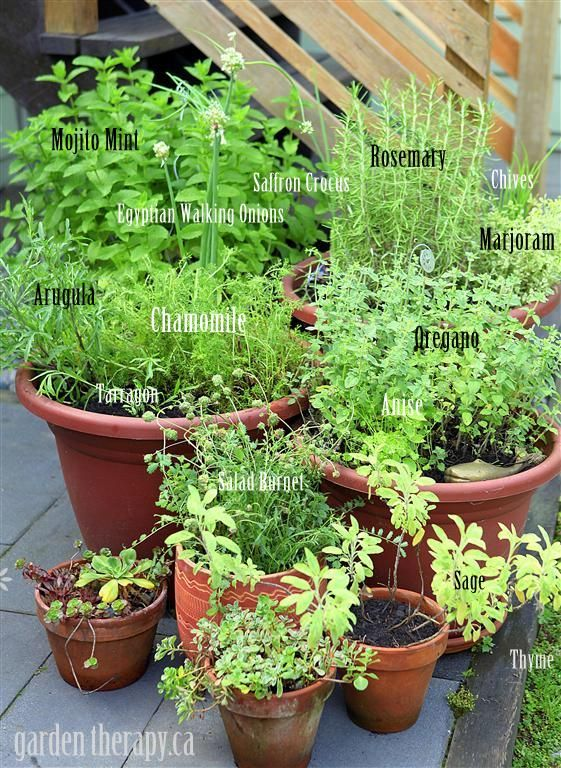 Container Herb Garden - growing perennial herbs that will come back year after year.