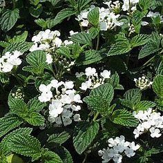 planted white lantana last year - makes a great full sun plant