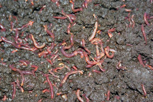Lombrices californianas compost ecológico
