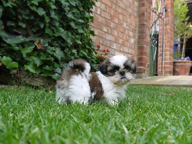 shiz tzu puppy - shegoeswear.blogspot.com
