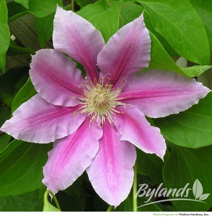 167 best images about a flower clematis mandevilla. Black Bedroom Furniture Sets. Home Design Ideas