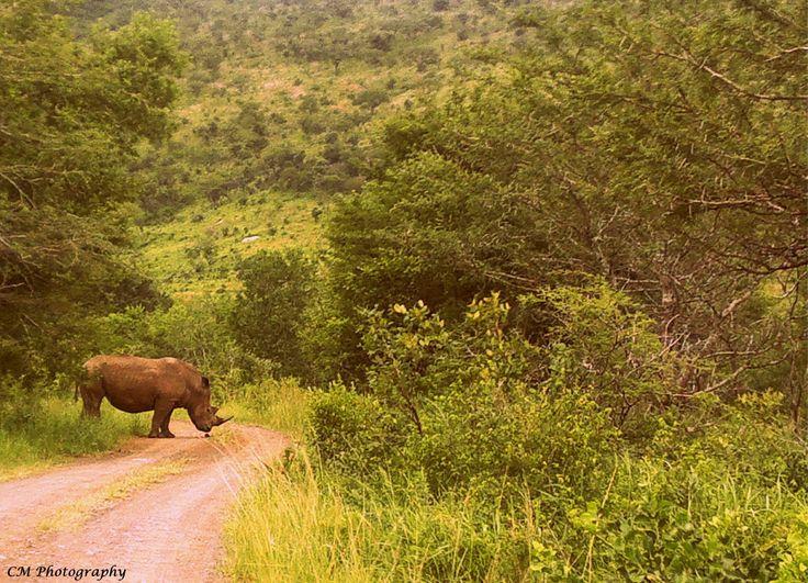 Rhino, inspecting, Dung Beetle