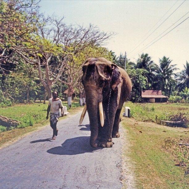 #elefante a #passeggio ad #Havelock #Isole #Andaman's #Andamane #India #elephant
