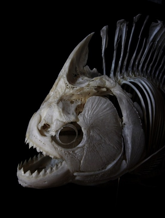 piranha. This is a dangerous fish.
