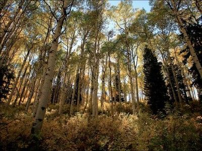 Nature Blows My Mind! This 80,000-Year-Old Aspen Grove Clones Itself