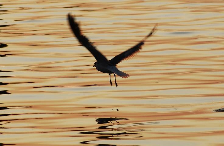 Gull flying over LBI NJ bay