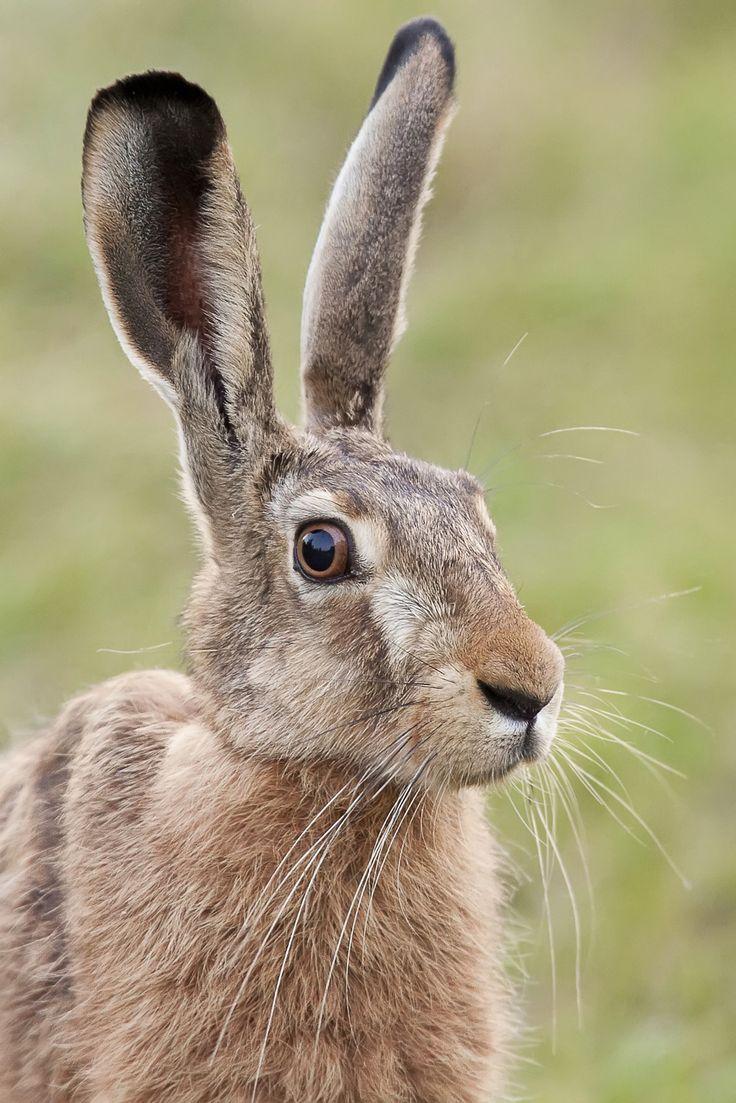Hare in the wild - portrait by Janusz Pienkowski