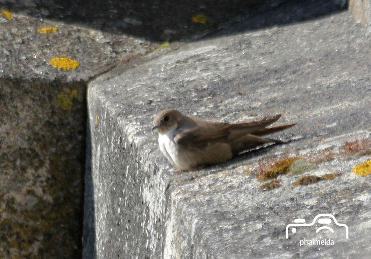 Andorinha das rochas (Ptyonoprogne rupestris )