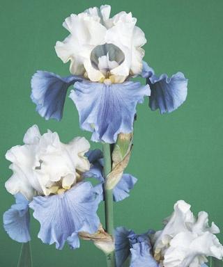 Iris, Bearded 'Stairway to Heaven'