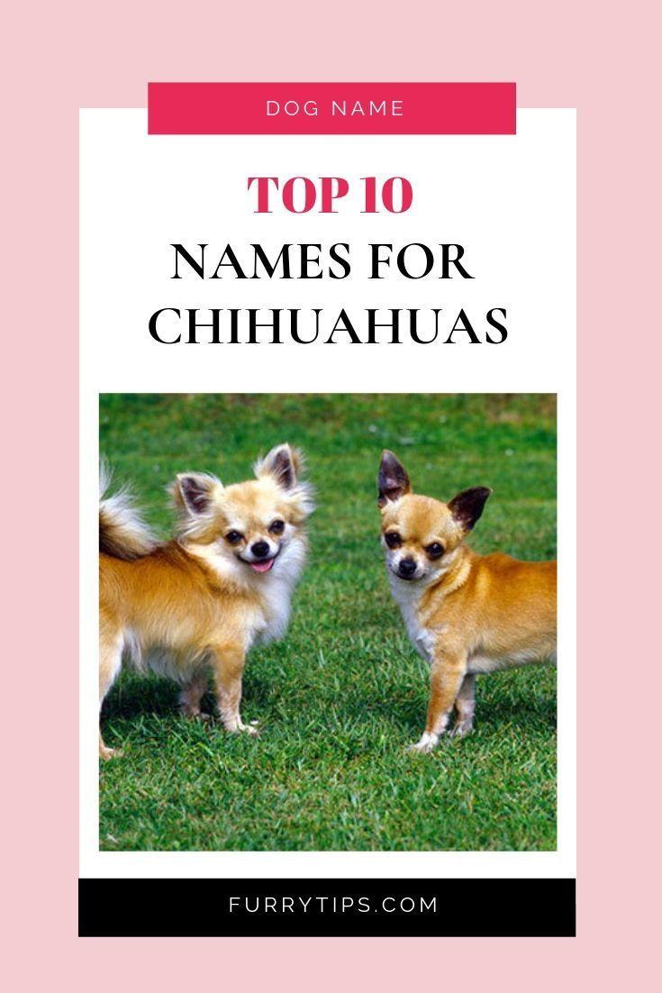 Top 10 Names For Chihuahuas Dog Names Dog Names Unique Top Dog Names