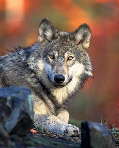 An endangered grey wolf. Photos of dead and maimed wolves have sppeared on the internet in recent weeks, raising tensions in the Northern Rocky Mountains over renewed hunting and trapping of the once federally protected animalsPhotograph: USFW/Reuters