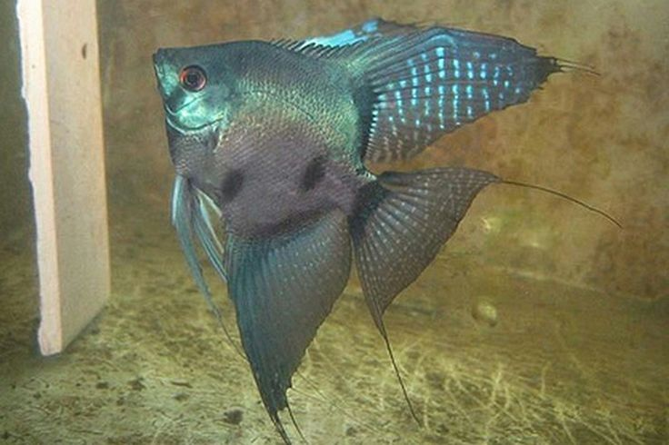"leopard angelfish | Pterophyllum scalare ""Blue Blushing ..."