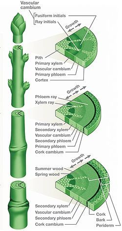 Xylem - is one of the 2 types of transport tissue in vascular plants, derived from the Greek, meaning wood, the basic function is to transport water and nutrients through the plant