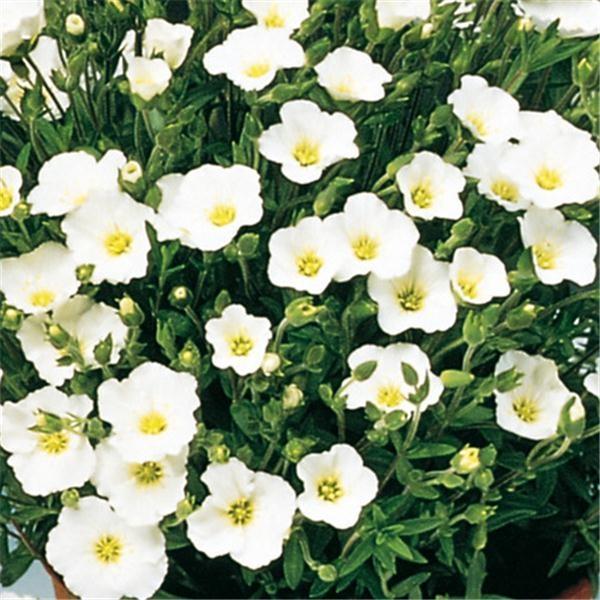 Sablin Arenaria montana mountains Blizzard TM compact - grow in pot $3.90