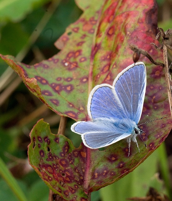 ~~Common Blue Butterfly by greensnapper2013~~