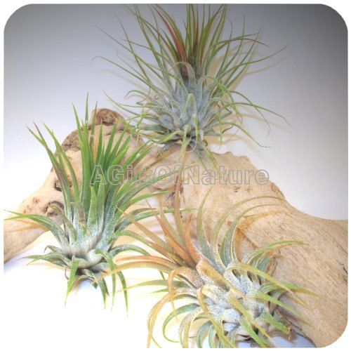 AIR PLANT SET Trio Tillandsia Air Plants For Sale by AGiftofNature, $10.00