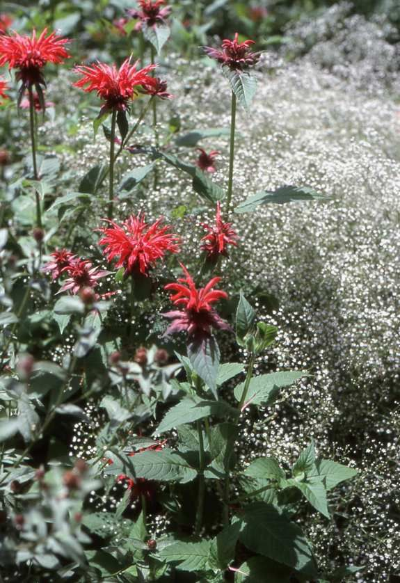 17 best images about gardening plant combis on pinterest for Perennial plant combination ideas