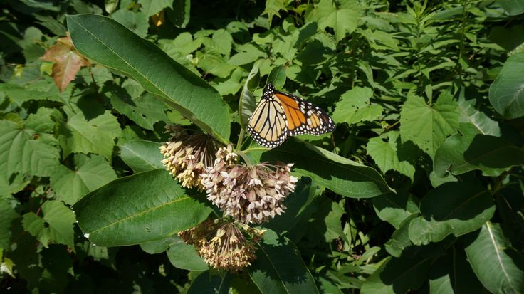 Butterfly way in Toronto