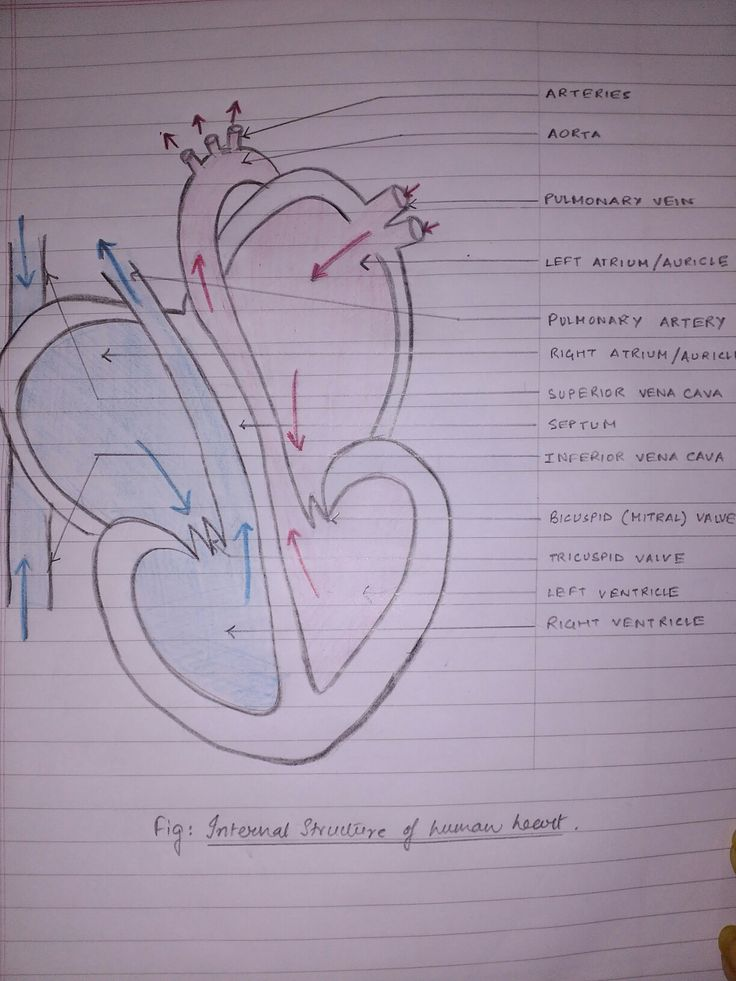 Heart diagram biology anatomy students school easy ...