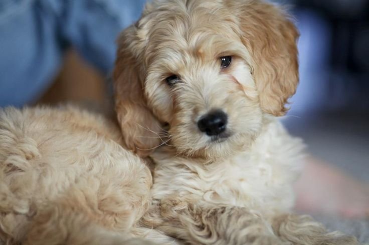 goldendoodle haircuts | Goldendoodle Lion Haircuts Golden ...