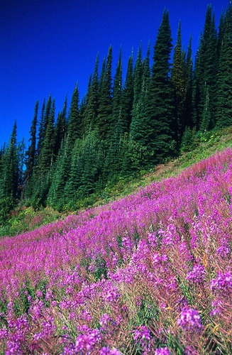 North Okanagan. Fireweed at silverstar mountain resort in Vernon BC